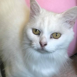 adoption-cat-tinkerbelle