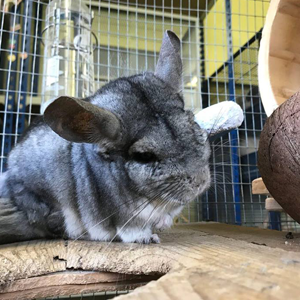 resident-animal-chincy