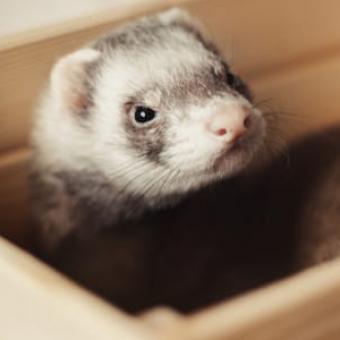 resident-animal-ferret