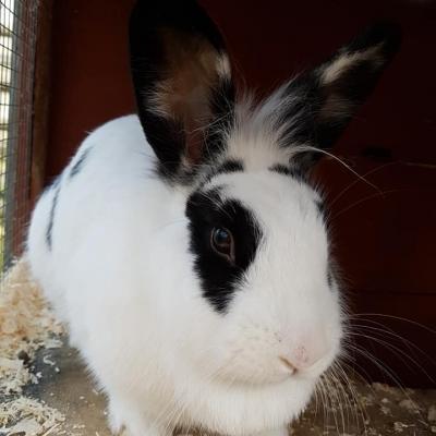 sfawwhiteblackrabbit